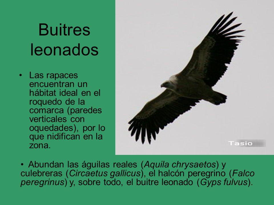 Martín pescador La avifauna ribereña también es destacada, con dos especies fundamentales: el Martín pescador (Alcedo atthis) y el mirlo de agua (Cinclus cinclus).