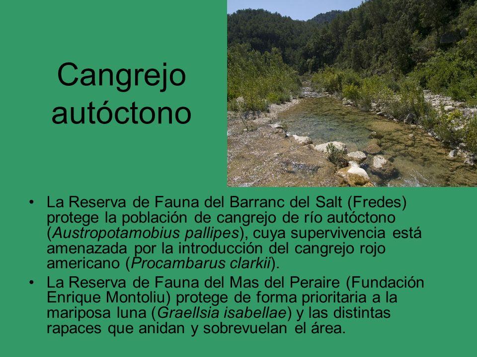 Cangrejo autóctono La Reserva de Fauna del Barranc del Salt (Fredes) protege la población de cangrejo de río autóctono (Austropotamobius pallipes), cu