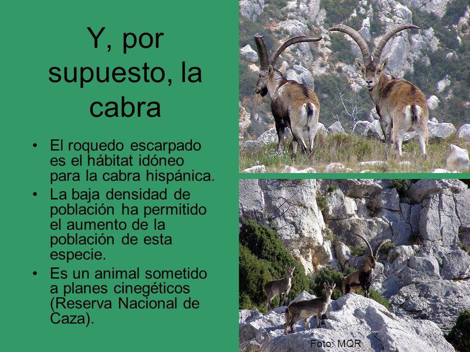 Y, por supuesto, la cabra Foto: MQR El roquedo escarpado es el hábitat idóneo para la cabra hispánica. La baja densidad de población ha permitido el a