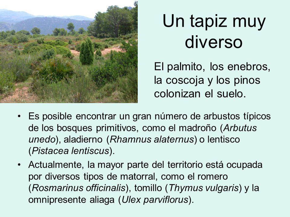 Un tapiz muy diverso Es posible encontrar un gran número de arbustos típicos de los bosques primitivos, como el madroño (Arbutus unedo), aladierno (Rh
