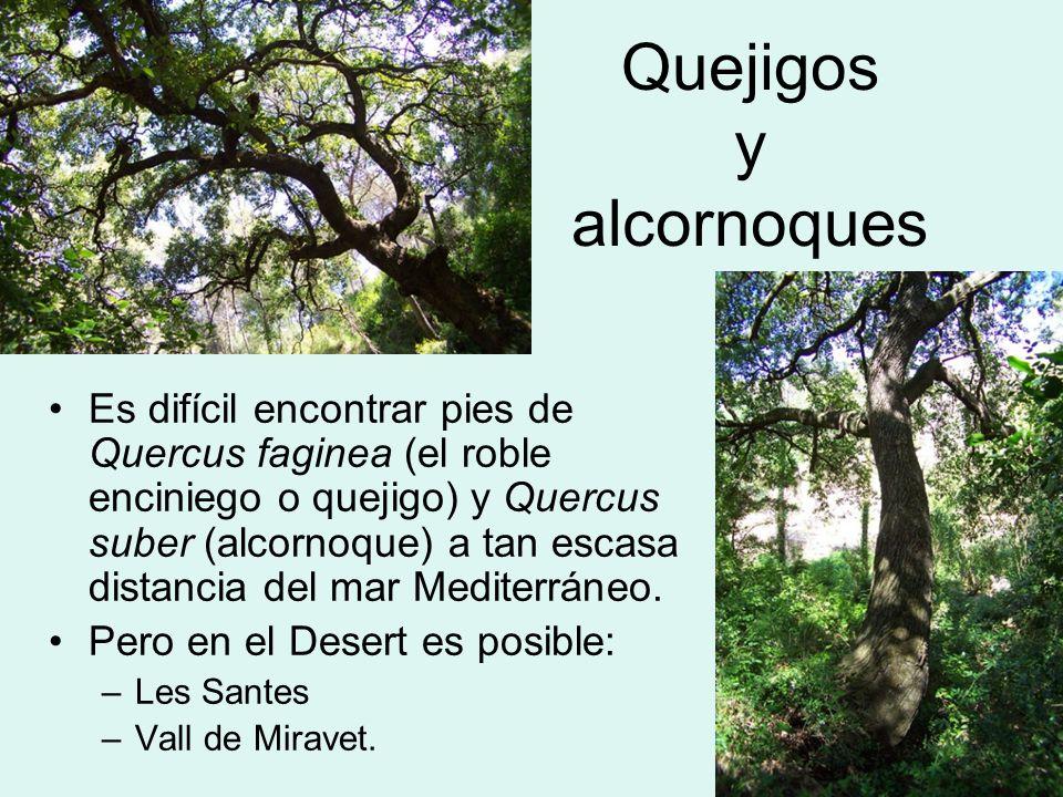 Quejigos y alcornoques Es difícil encontrar pies de Quercus faginea (el roble enciniego o quejigo) y Quercus suber (alcornoque) a tan escasa distancia