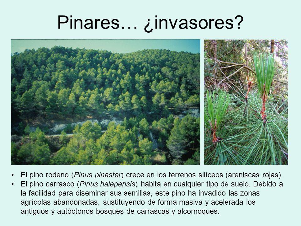 Pinares… ¿invasores? El pino rodeno (Pinus pinaster) crece en los terrenos silíceos (areniscas rojas). El pino carrasco (Pinus halepensis) habita en c
