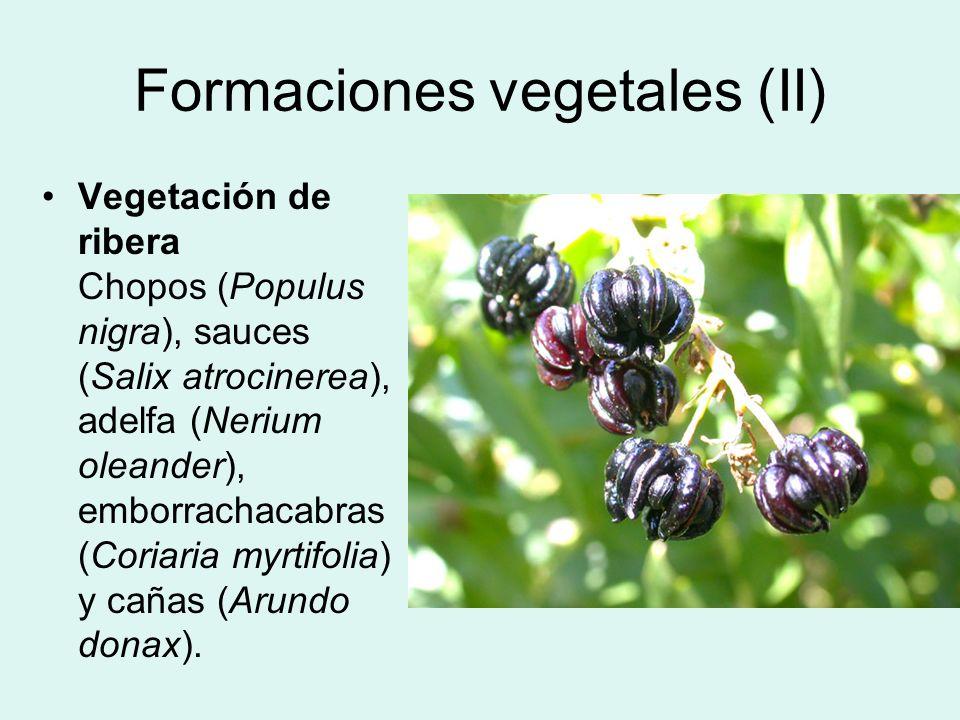 Formaciones vegetales (II) Vegetación de ribera Chopos (Populus nigra), sauces (Salix atrocinerea), adelfa (Nerium oleander), emborrachacabras (Coriar