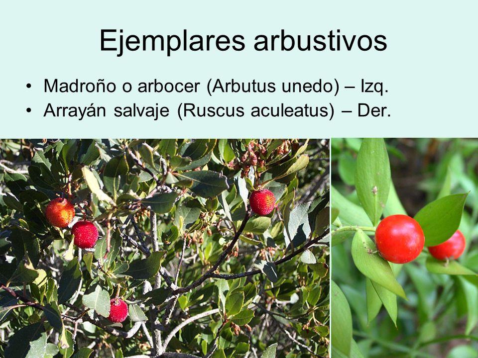 Ejemplares arbustivos Madroño o arbocer (Arbutus unedo) – Izq. Arrayán salvaje (Ruscus aculeatus) – Der.