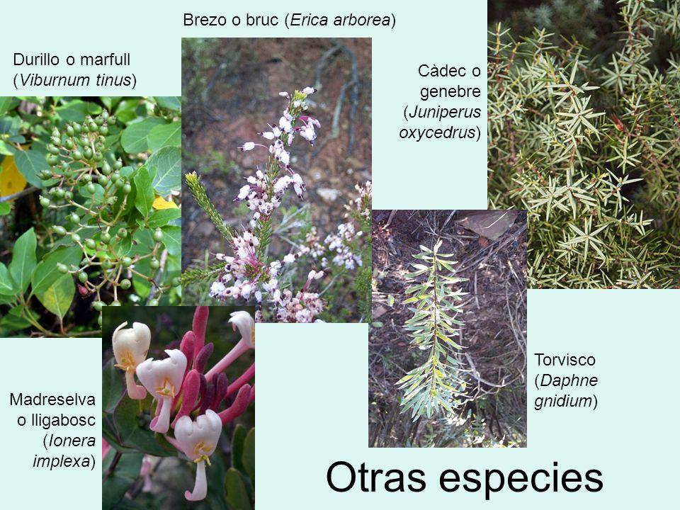 Otras especies Càdec o genebre (Juniperus oxycedrus) Durillo o marfull (Viburnum tinus) Brezo o bruc (Erica arborea) Torvisco (Daphne gnidium) Madrese