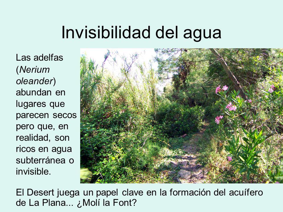 Invisibilidad del agua El Desert juega un papel clave en la formación del acuífero de La Plana... ¿Molí la Font? Las adelfas (Nerium oleander) abundan