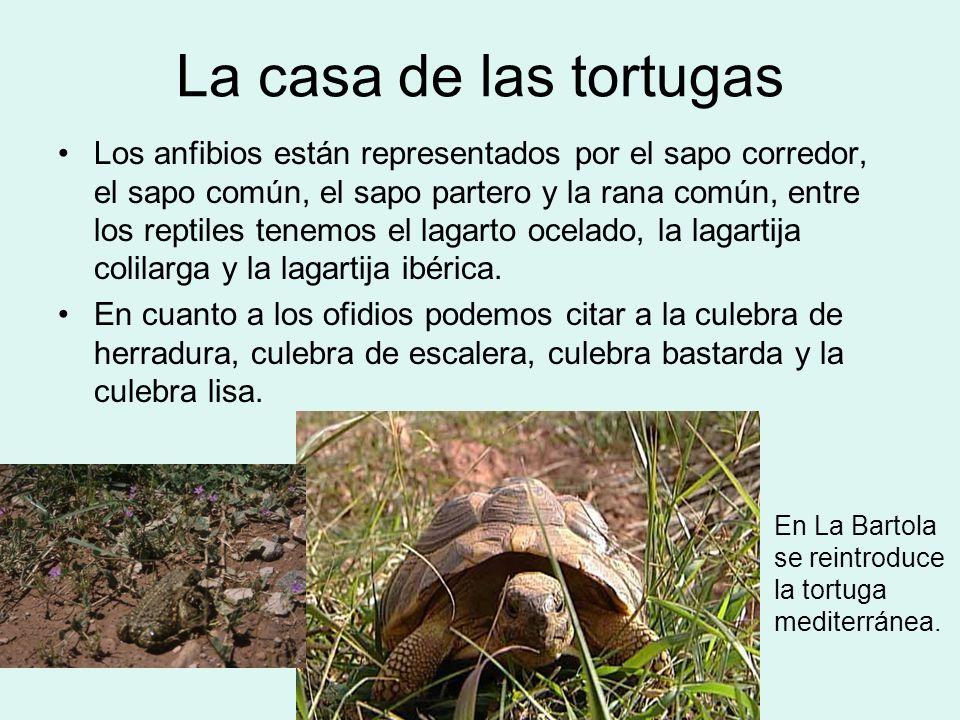 La casa de las tortugas Los anfibios están representados por el sapo corredor, el sapo común, el sapo partero y la rana común, entre los reptiles tene