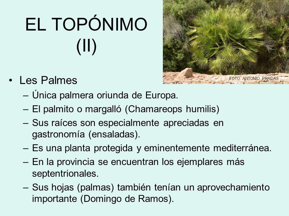 EL TOPÓNIMO (II) Les Palmes –Única palmera oriunda de Europa. –El palmito o margalló (Chamareops humilis) –Sus raíces son especialmente apreciadas en
