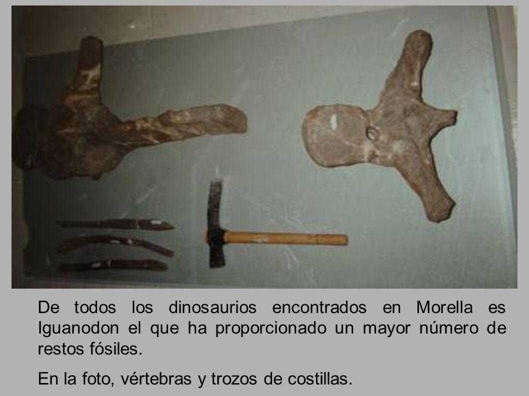 De todos los dinosaurios encontrados en Morella es Iguanodon el que ha proporcionado un mayor número de restos fósiles. En la foto, vértebras y trozos