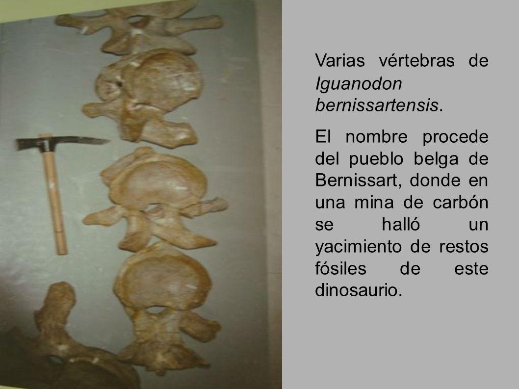 Varias vértebras de Iguanodon bernissartensis. El nombre procede del pueblo belga de Bernissart, donde en una mina de carbón se halló un yacimiento de