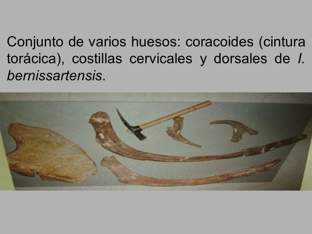 Conjunto de varios huesos: coracoides (cintura torácica), costillas cervicales y dorsales de I. bernissartensis.