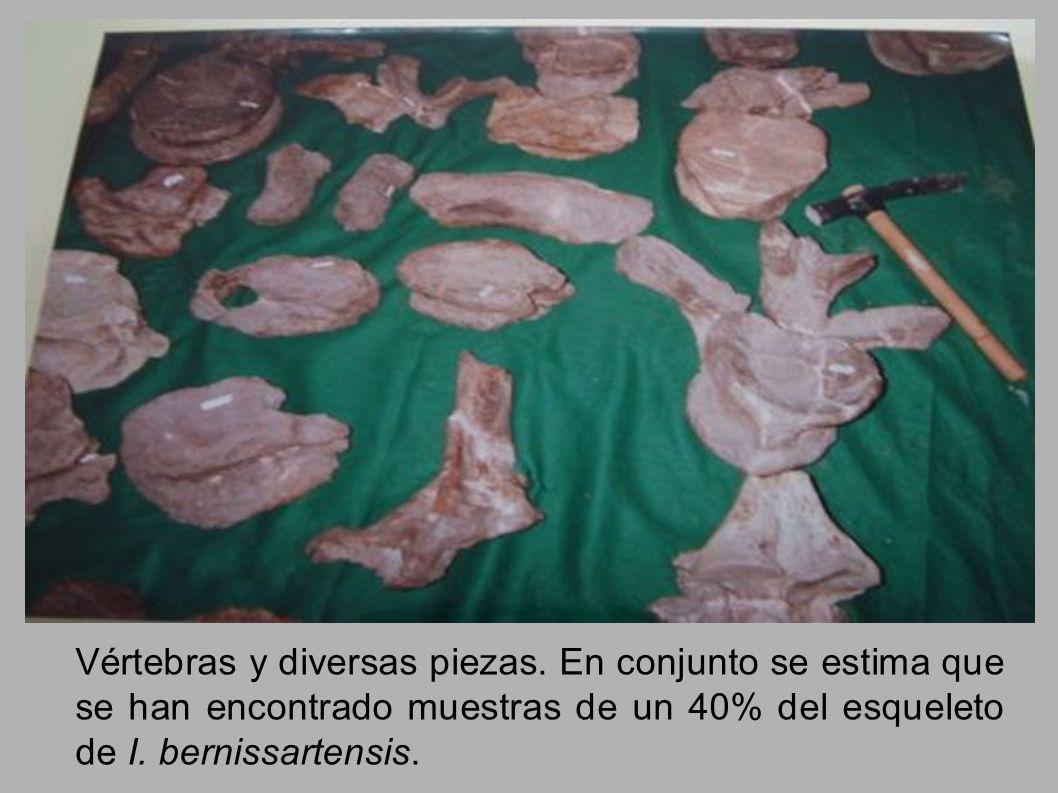 Vértebras y diversas piezas. En conjunto se estima que se han encontrado muestras de un 40% del esqueleto de I. bernissartensis.