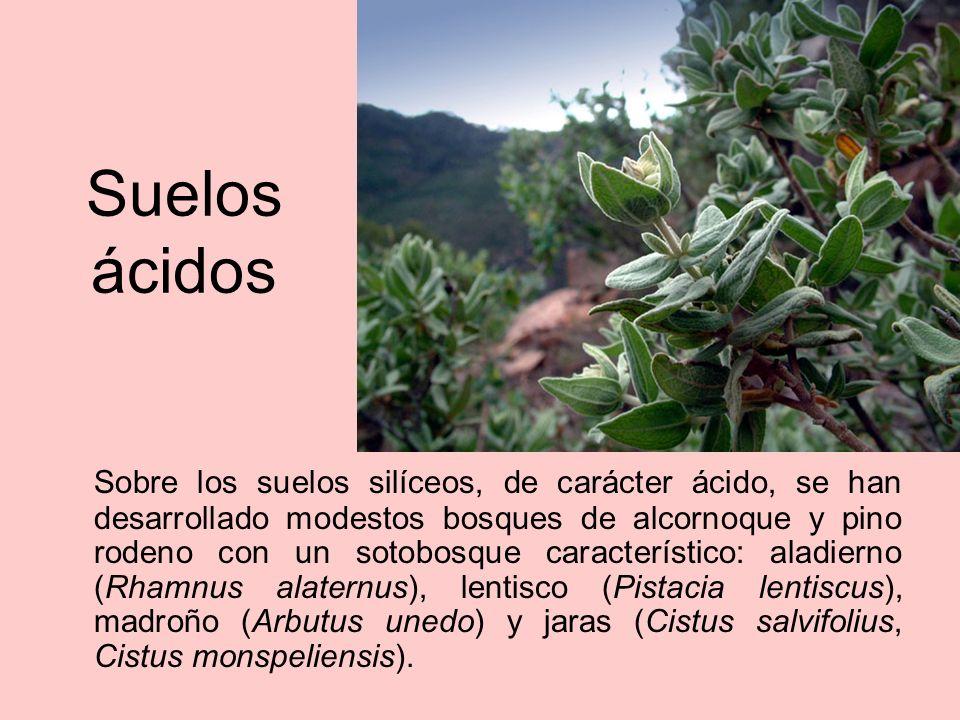 Suelos básicos En los suelos calcícolas crecen el romero (Rosmarinus officinalis), la coscoja (Quercus coccifera), la aliaga (Ulex parviflorus) y el brezo (Erica multiflora).