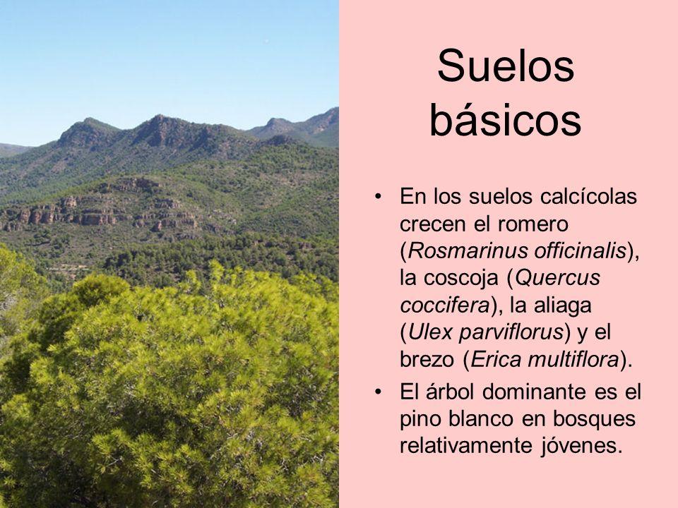 Variedad En los barrancos, las adelfas hacen estallar su floración blanca o rosada.
