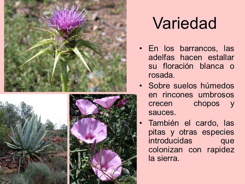 Mediterraneidad 100% Son frecuentes especies como la madreselva (Lonicera implexa), la zarzaparrilla (Smilax aspera) y palmito el (Chamaerops humilis)