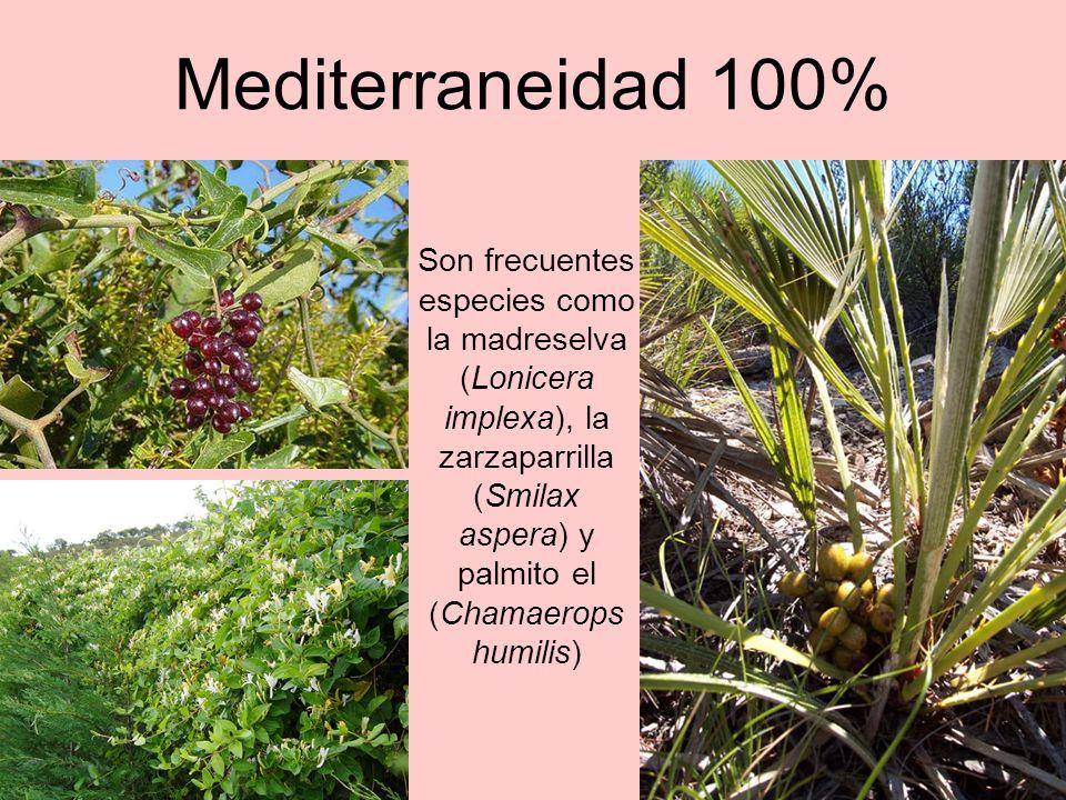 1.500 años lo contemplan La Morruda (Segorbe) Especie: Olea europea /Olivo / Olivera Altura: 4,40 m Perímetro a 1,30 metros: 6,56 m.
