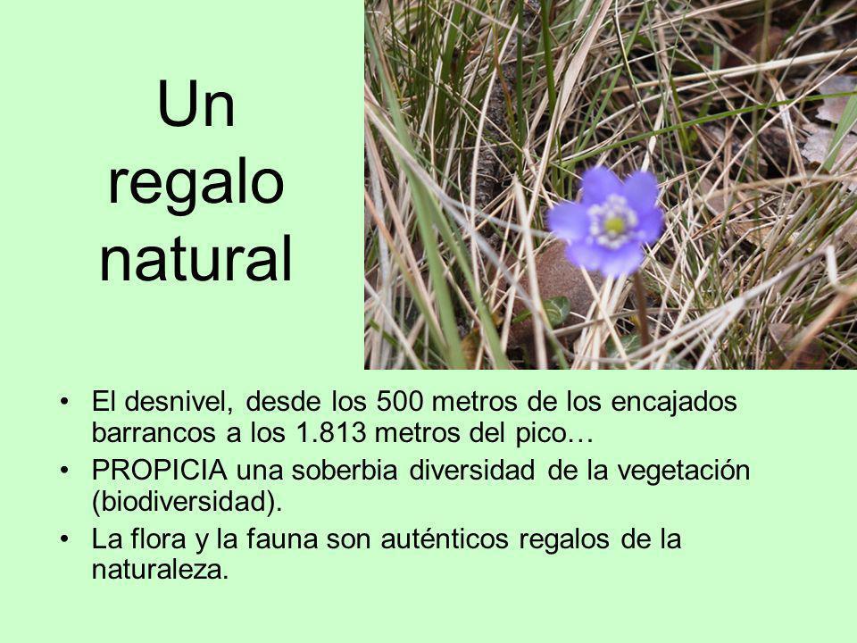 Un regalo natural El desnivel, desde los 500 metros de los encajados barrancos a los 1.813 metros del pico… PROPICIA una soberbia diversidad de la veg