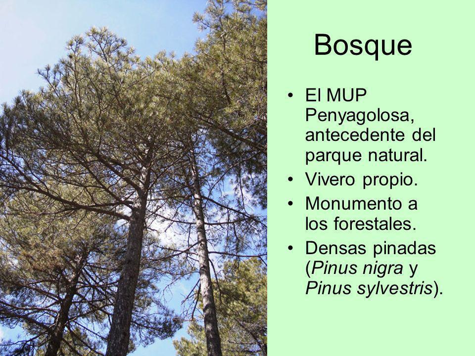 Bosque El MUP Penyagolosa, antecedente del parque natural. Vivero propio. Monumento a los forestales. Densas pinadas (Pinus nigra y Pinus sylvestris).