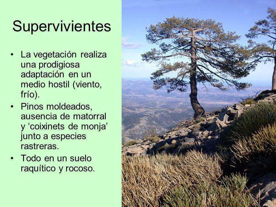Supervivientes La vegetación realiza una prodigiosa adaptación en un medio hostil (viento, frío). Pinos moldeados, ausencia de matorral y coixinets de