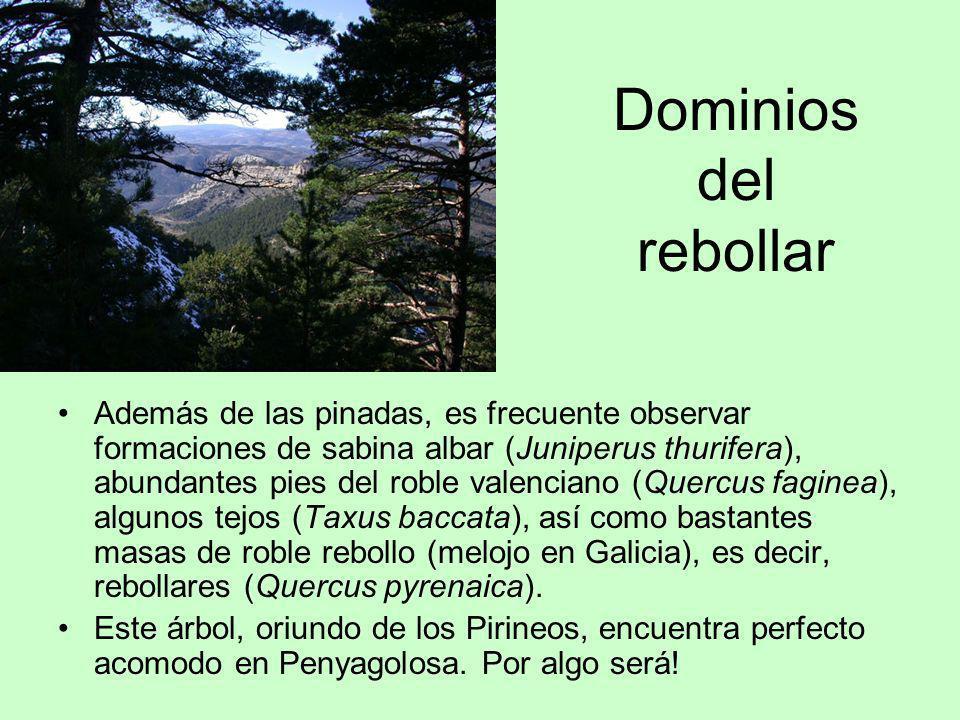 Dominios del rebollar Además de las pinadas, es frecuente observar formaciones de sabina albar (Juniperus thurifera), abundantes pies del roble valenc