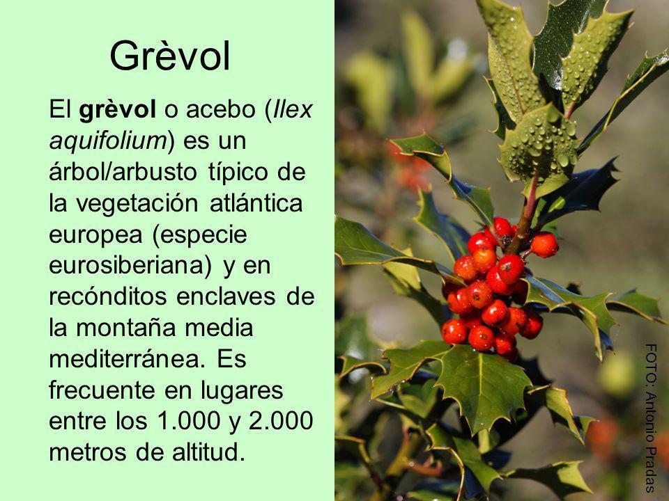 Grèvol El grèvol o acebo (Ilex aquifolium) es un árbol/arbusto típico de la vegetación atlántica europea (especie eurosiberiana) y en recónditos encla