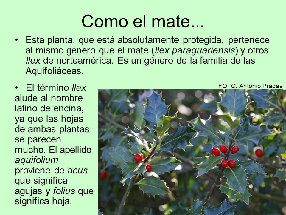 Como el mate... Esta planta, que está absolutamente protegida, pertenece al mismo género que el mate (Ilex paraguariensis) y otros Ilex de norteaméric