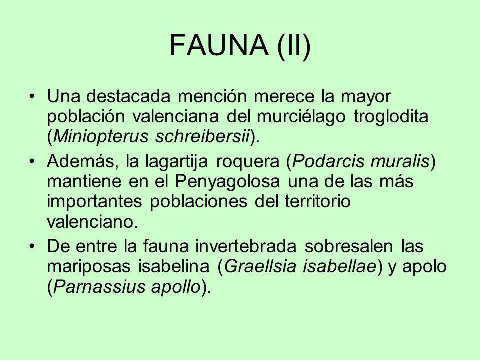 FAUNA (II) Una destacada mención merece la mayor población valenciana del murciélago troglodita (Miniopterus schreibersii). Además, la lagartija roque