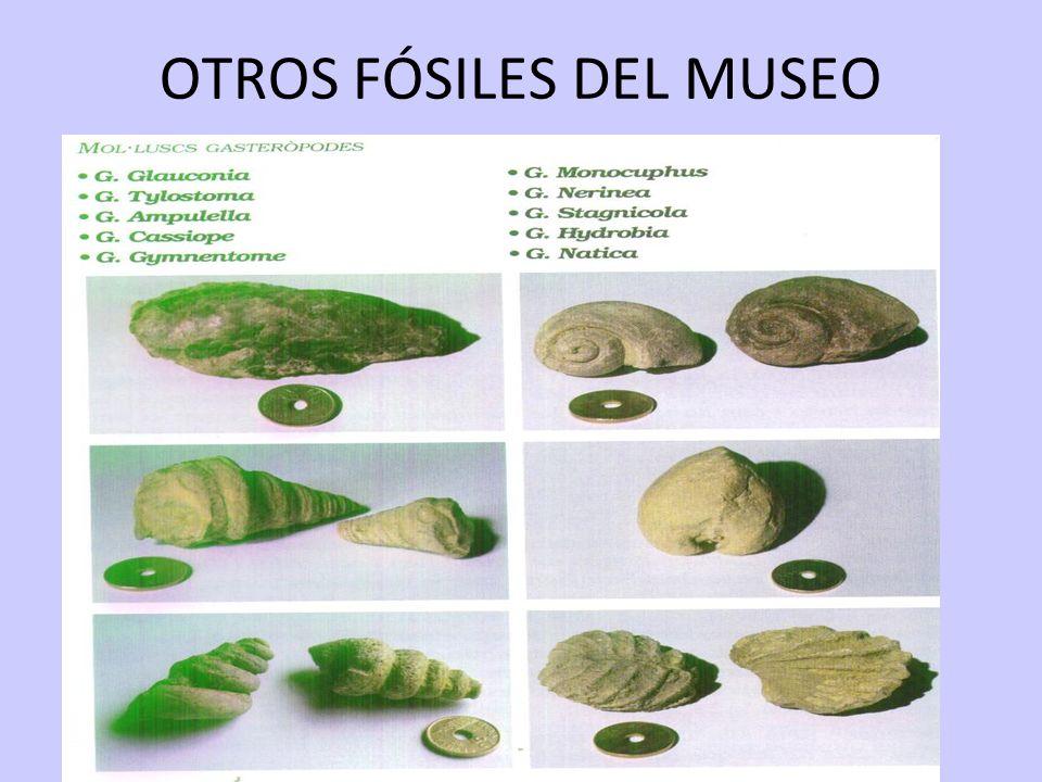 17/05/11 OTROS FÓSILES DEL MUSEO