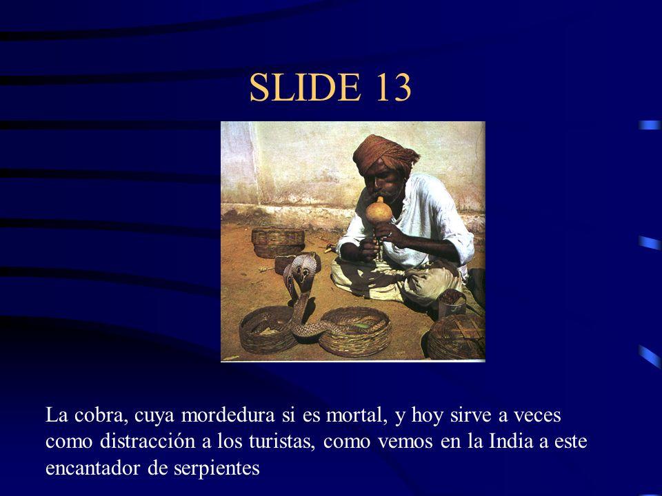 SLIDE 13 La cobra, cuya mordedura si es mortal, y hoy sirve a veces como distracción a los turistas, como vemos en la India a este encantador de serpi
