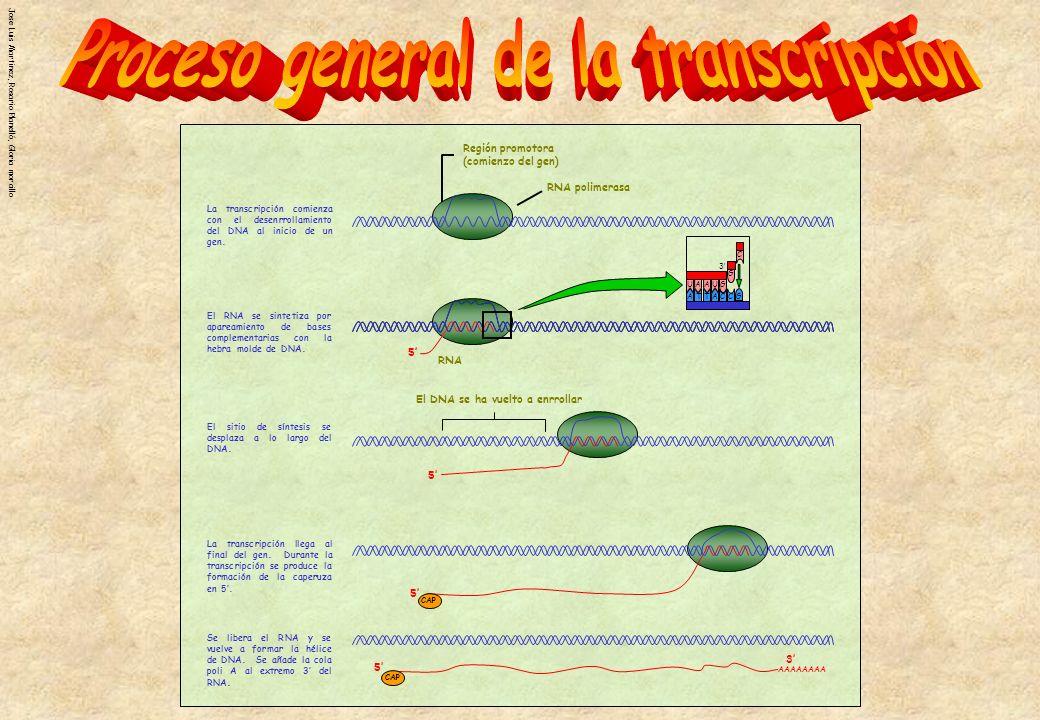 Jose Luis Martinez, Rosario Planelló, Gloria morcillo Región promotora (comienzo del gen) RNA polimerasa 5 RNA 5 El DNA se ha vuelto a enrrollar A U G