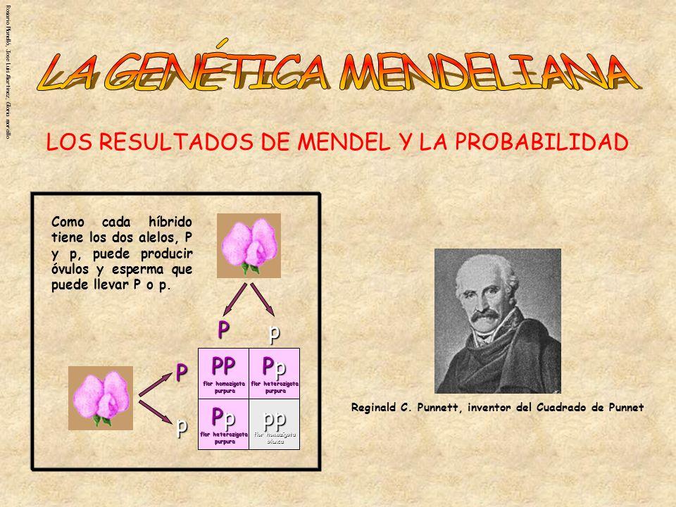 Rosario Planelló, Jose Luis Martinez, Gloria morcillo CUADRADO DE PUNNETT Las reglas de la probabilidad se pueden usar para ayudar a predecir los resultados de cruces genéticos simples.