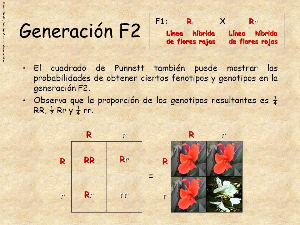 Rosario Planelló, Jose Luis Martinez, Gloria morcillo Tanto el genotipo RR como el Rr producen plantas de flores rojas.