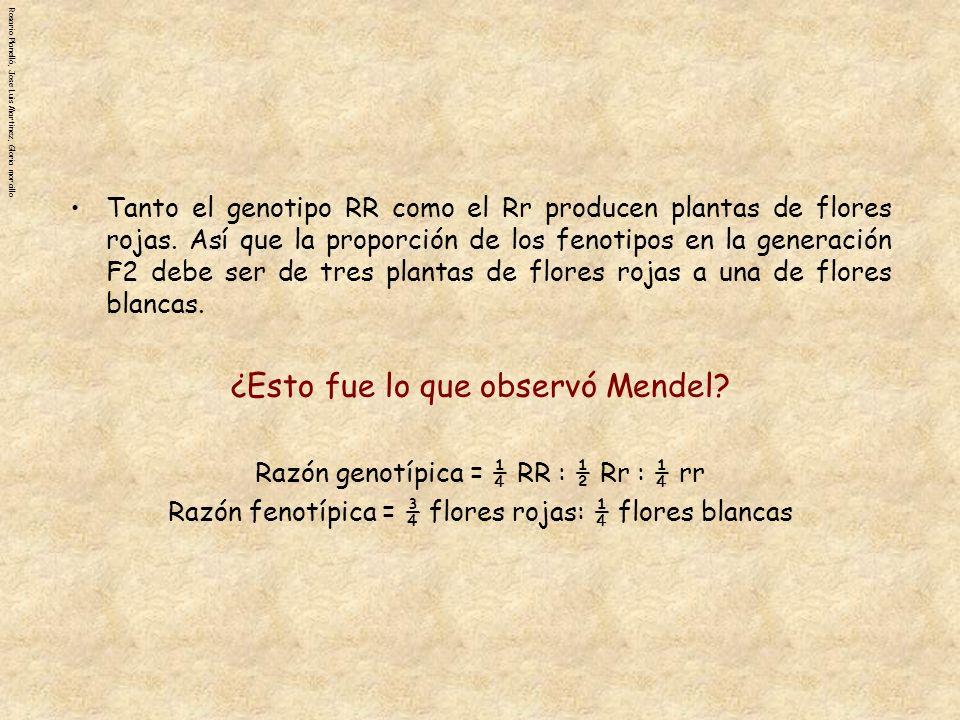 Rosario Planelló, Jose Luis Martinez, Gloria morcillo Cruce de Prueba Mendel llegó a la conclusión de que todas las plantas de flores rojas en la generación F1 tenían en genotipo Rr.