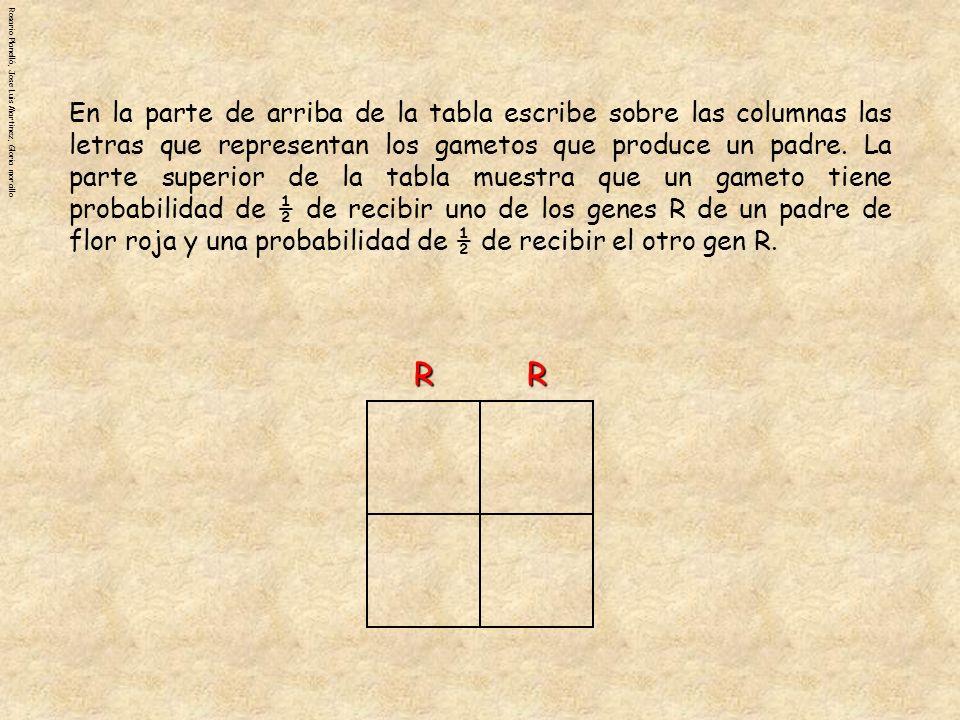 Rosario Planelló, Jose Luis Martinez, Gloria morcilloRRr r Las letras que representan los gametos que produce el otro padre se escriben al lado de las filas, a la izquierda de la tabla.