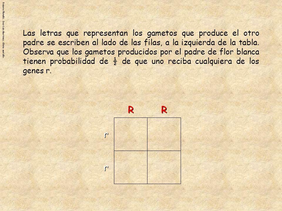 Rosario Planelló, Jose Luis Martinez, Gloria morcilloRRr r RrRrRrRr RrRrRrRr RrRrRrRr RrRrRrRr Los cuadrados del interior de la tabla deben ilustrar qué genotipos pueden resultar al combinarse los gametos en la fecundación.