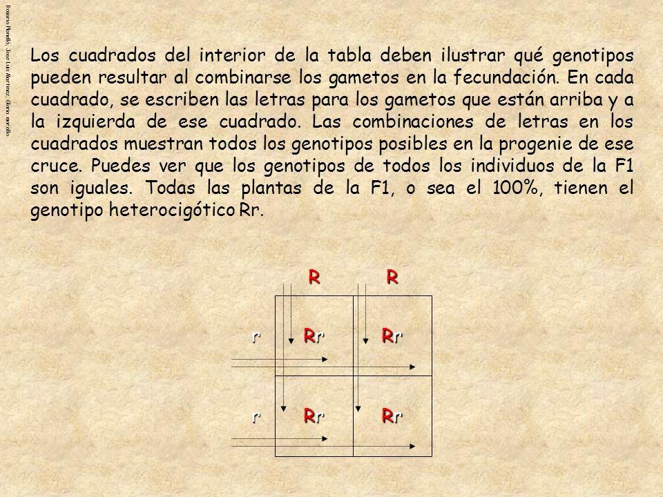 Rosario Planelló, Jose Luis Martinez, Gloria morcilloRRr r RrRrRrRr RrRrRrRr RrRrRrRr RrRrRrRr Los cuadrados interiores ayudan también a ilustrar la proporción de fenotipos que se obtendrá al hacer un cruce.