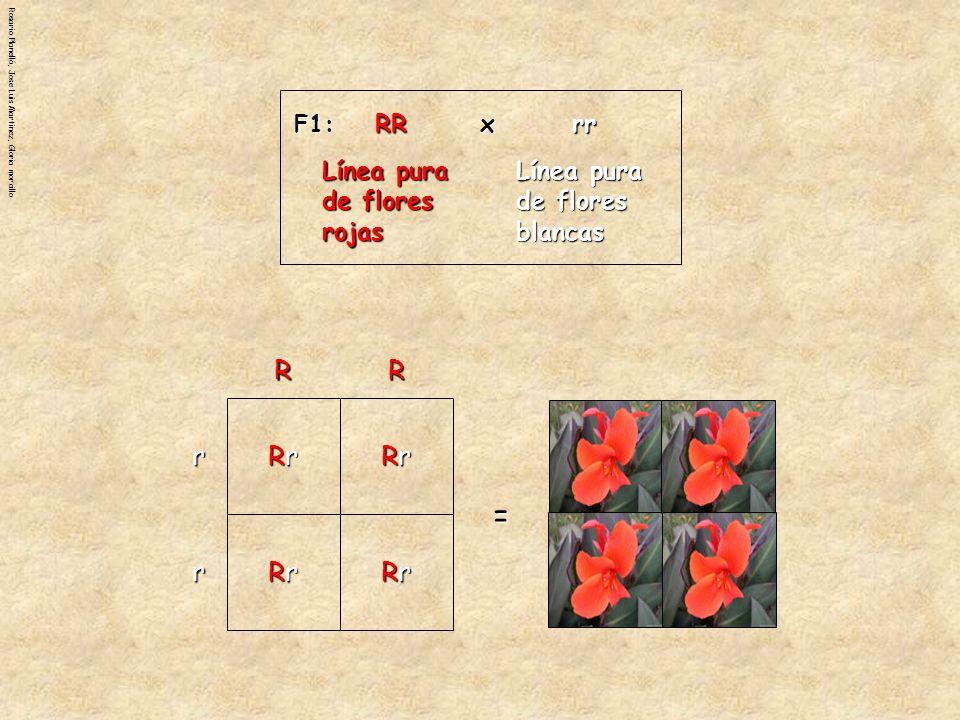 Rosario Planelló, Jose Luis Martinez, Gloria morcillo El cuadrado de Punnett también puede mostrar las probabilidades de obtener ciertos fenotipos y genotipos en la generación F2.