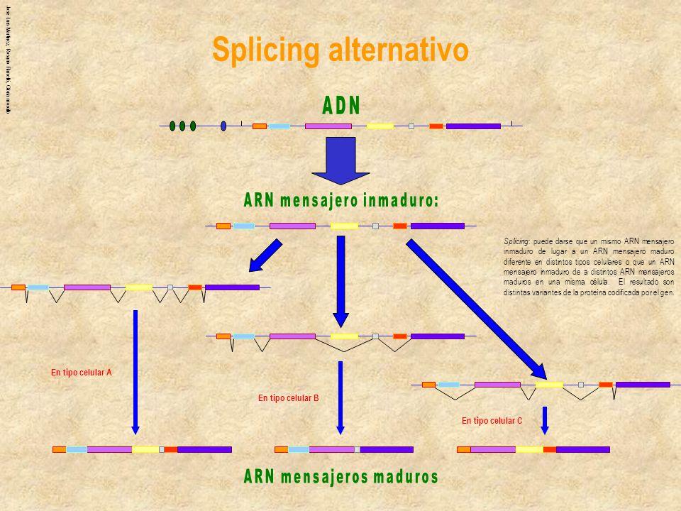 Jose Luis Martinez, Rosario Planelló, Gloria morcillo Splicing : puede darse que un mismo ARN mensajero inmaduro de lugar a un ARN mensajero maduro di