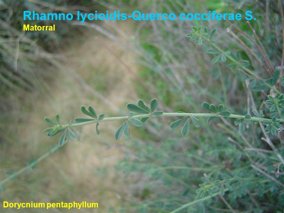 Rhamno lycioidis-Querco cocciferae S. Dorycnium pentaphyllum Matorral