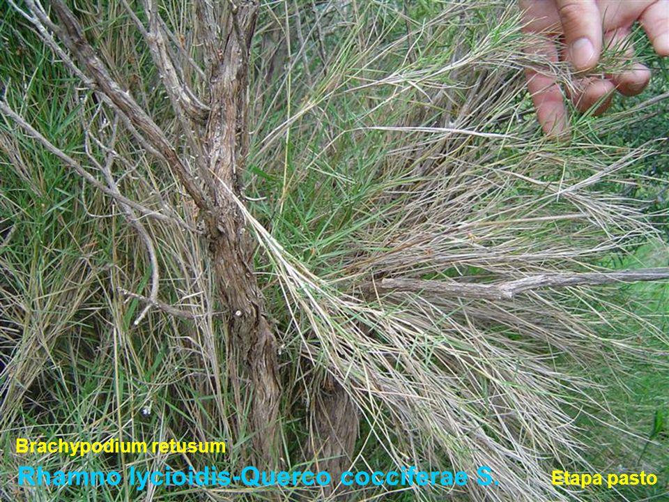 Rhamno lycioidis-Querco cocciferae S. Brachypodium retusum Etapa pasto