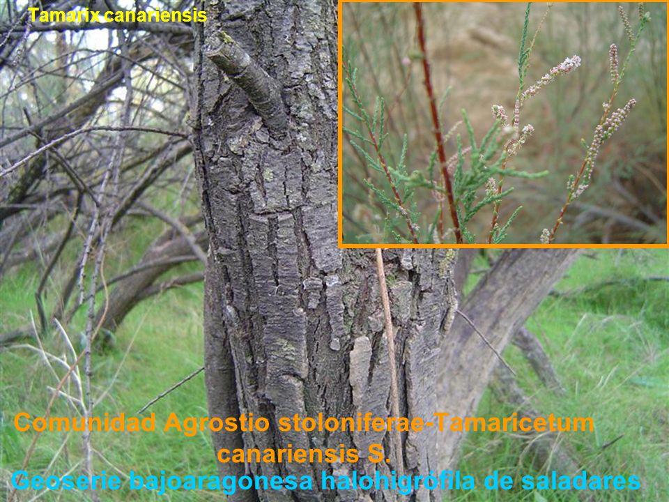 Comunidad Agrostio stoloniferae-Tamaricetum canariensis S. Tamarix canariensis Geoserie bajoaragonesa halohigrófila de saladares