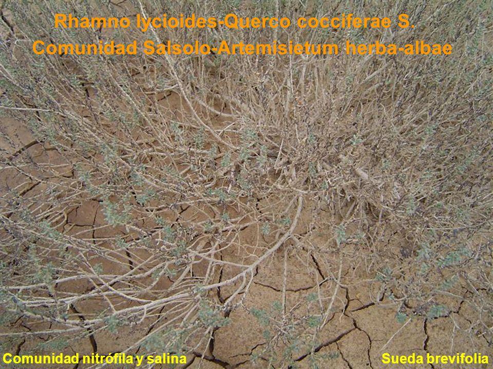 Comunidad Salsolo-Artemisietum herba-albae Sueda brevifolia Rhamno lycioides-Querco cocciferae S. Comunidad nitrófila y salina