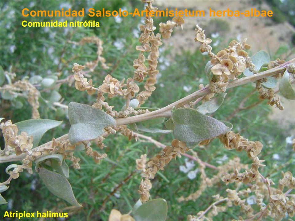 Comunidad Salsolo-Artemisietum herba-albae Atriplex halimus Comunidad nitrófila