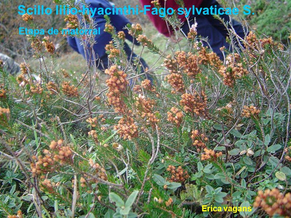Etapa de matorral Erica vagans Scillo lilio-hyacinthi-Fago sylvaticae S.