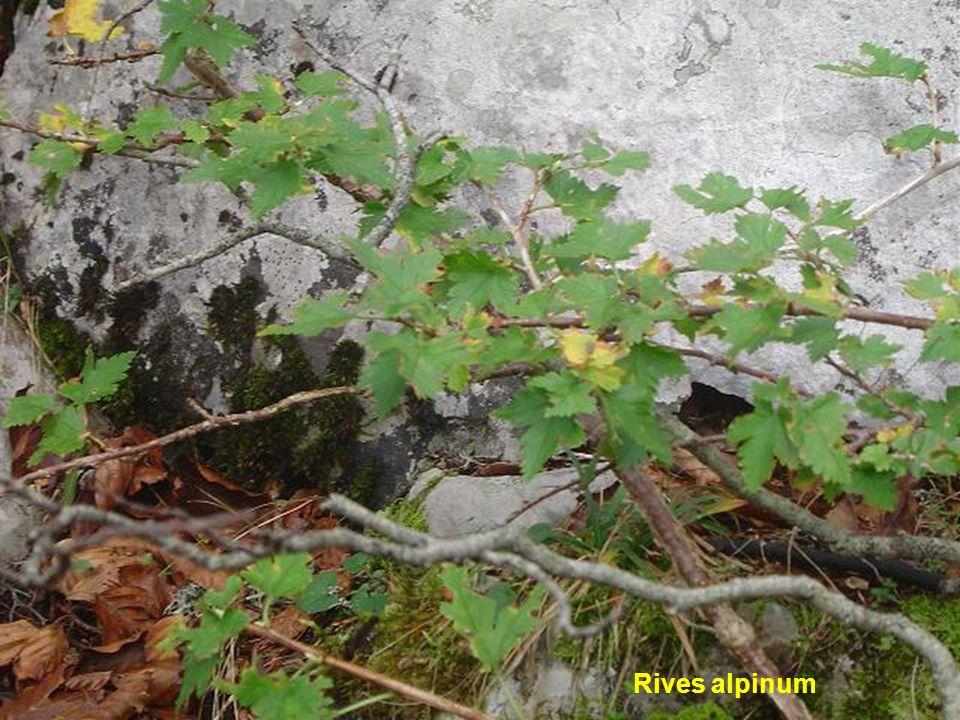 Rives alpinum