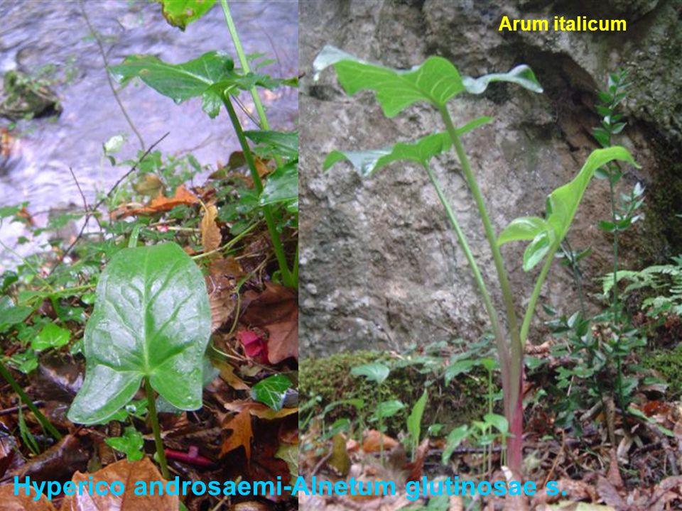 Hyperico androsaemi-Alnetum glutinosae s. Arum italicum