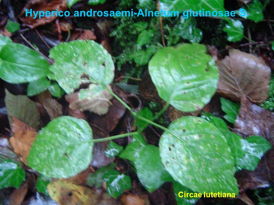 Hyperico androsaemi-Alnetum glutinosae S. Circae lutetiana