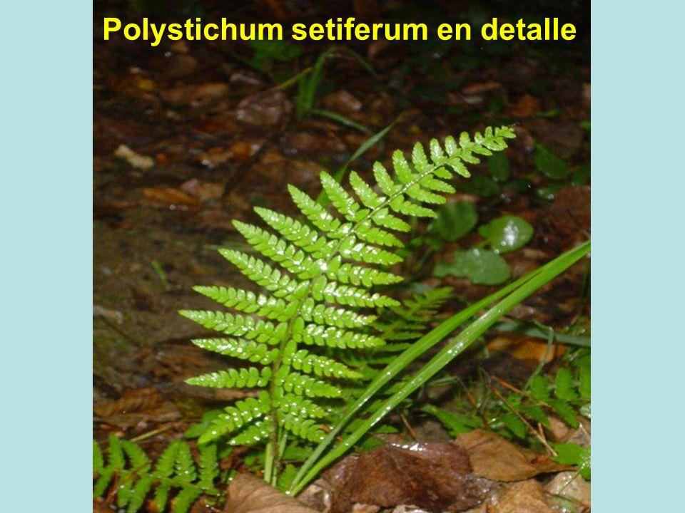 Polystichum setiferum en detalle