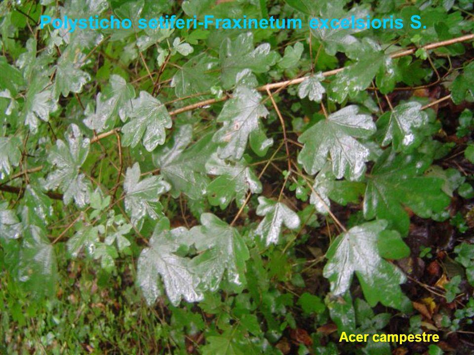 Polysticho setiferi-Fraxinetum excelsioris S. Acer campestre