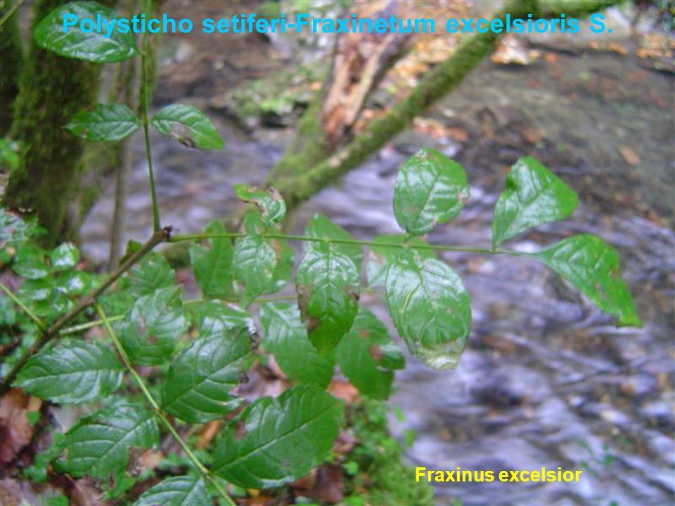 Polysticho setiferi-Fraxinetum excelsioris S. Fraxinus excelsior